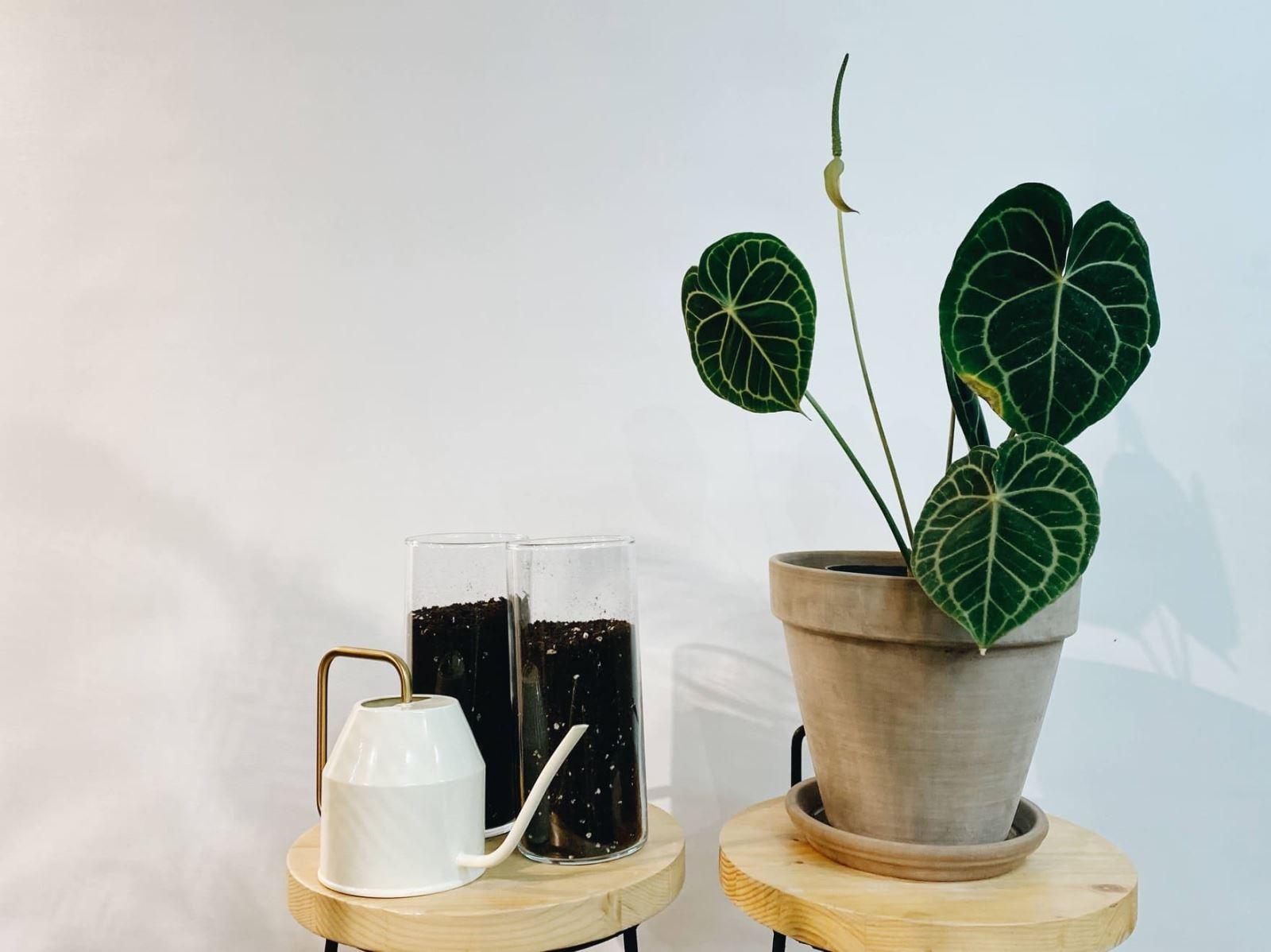 圓葉花燭Anthurium clarinervium婚禮感謝家人禮物